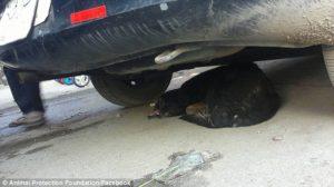 Anubis hiding under car