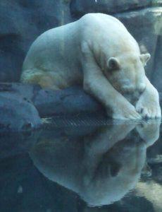 Taken from http://cherfanfiction.forumcommunity.net/ ARTURO the polar bear