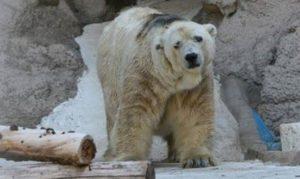 Arturo the polar bear 2