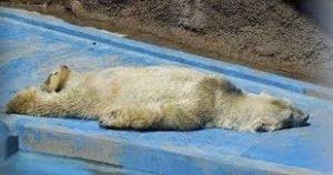 Arturo the polar bear cover