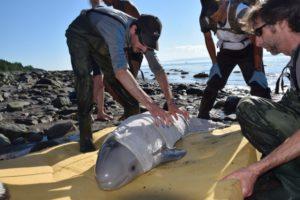 Baby beluga whale 3