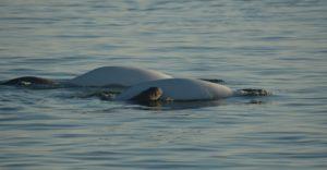 Baby beluga whale 4