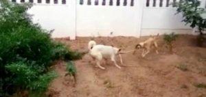 Indian dog kills snake 3