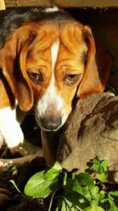 Lucy the Beagle 7