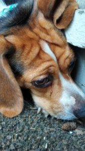 Lucy the beagle 5