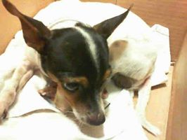 Taco the rat terrier 2