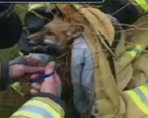 fox caught in soccer net