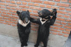 Baby bears being trained for circus