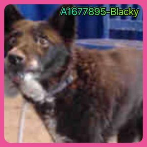 Blackie the German shepherd 3
