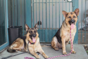 Bonded German shepherds