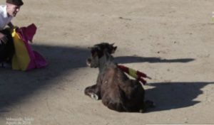 Calf cruelty in spain Pacma
