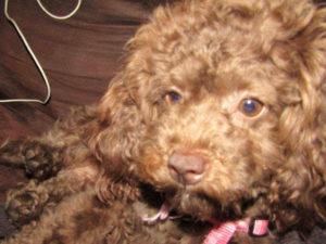 Cedar Rapids dog