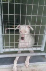 Cesar the white dog