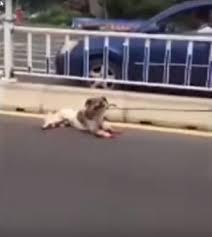 China dog dragged behind car 2