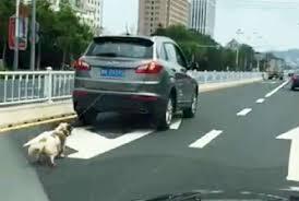China dog dragged behind car 3