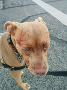 Images taken from facebook of Bandida the dog. Pitbull attacked by a cat in Vancouver. Pictures taken by Javiera Rodriguez. Owner is reported as being Kyla Grover. Images taken without permission. Credit Facebook / Javiera Rodriguez