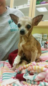 Loma the Chih after her operation