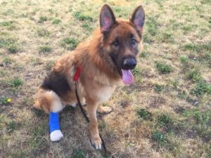 Maverick the GS dog who bit off leg