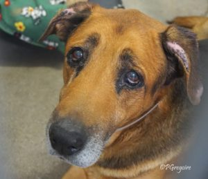 Old Soul Shepherd Surrendered Wears His Broken Heart On His Paw Pet Rescue Report
