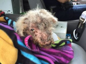 Miniature poodle found cover
