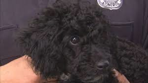 Poodle puppies rescued cover