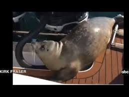Seal escapes from killer whale