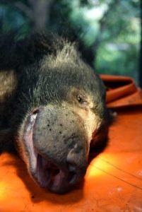 Sloth bear SOS 5