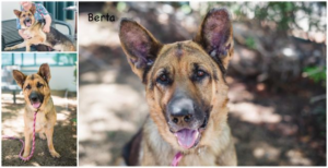 bonded German shepherd Betsey2