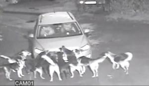 dogs vandalize Volkswagen