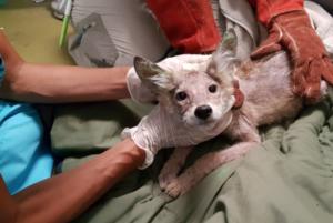 toronto coyote pup