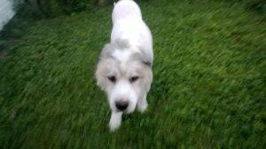 Big Fluffy dog rescue Labor Day 2