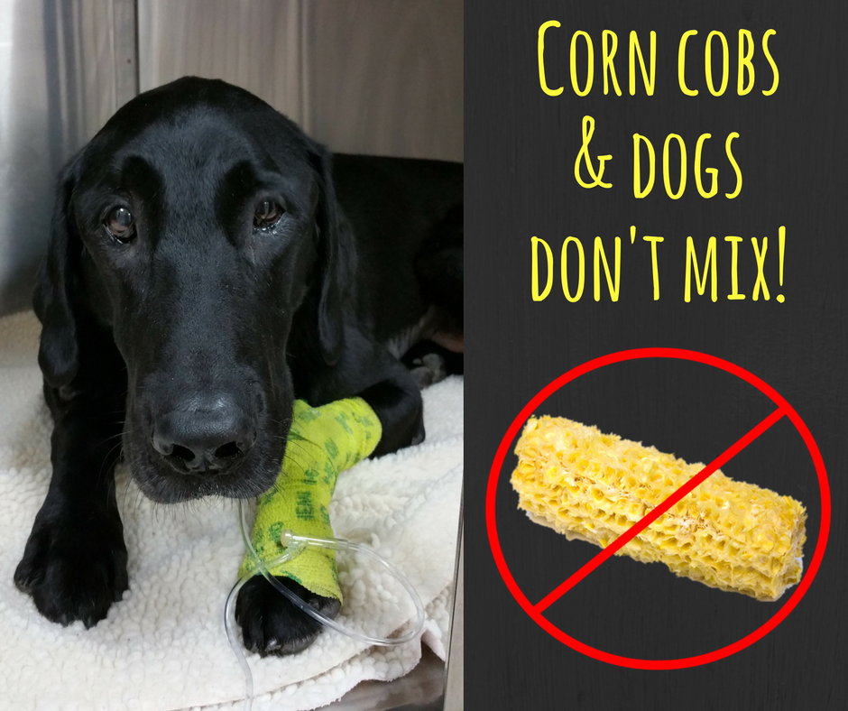 Corn Cobs And Dogs Don 39 T Mix Lucky Lab Recovering Pet