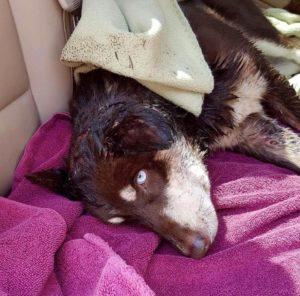 elsa-spirit-canine-rescue-2