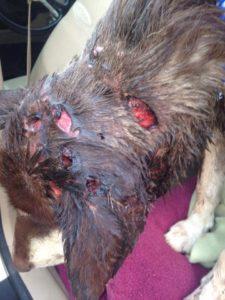 elsa-spirit-canine-rescue-6