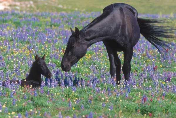 feral_horse_and_foal_-_pryor_mountain_wild_horse_range_-_montana