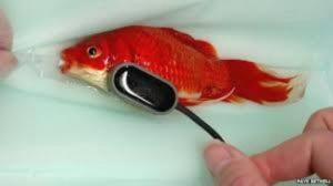 goldfish-operation-3