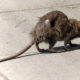 rats carry deadly virus
