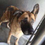 Neglected senior German shepherd