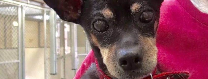 Senior dog surrendered by family who was too busy