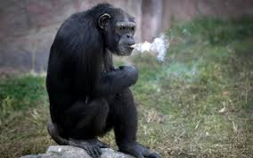 chimp-smoking-2