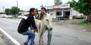 donkey-hit-by-car-3