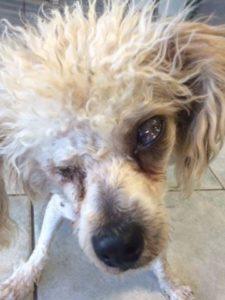 poodle-rescue-toby