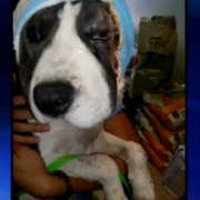 puppy injured in attack