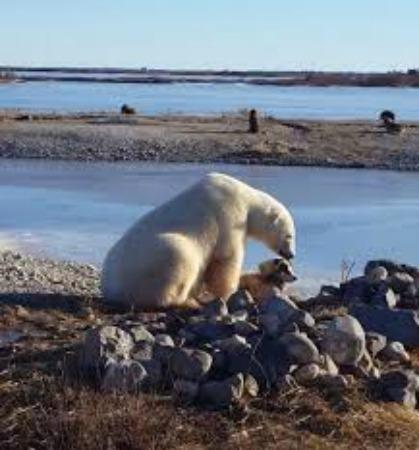 Polar Bear Eats Dog Youtube