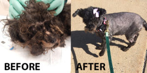 matter-poodle-before-and-after