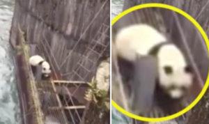 panda-rescue-2