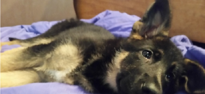 German shepherd puppy found alongside road