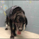 Frail senior dog surrendered