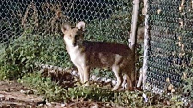 Coyote Family Trapped And Killed Near Laguardia Airport