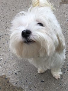 billy-the-maltese-2